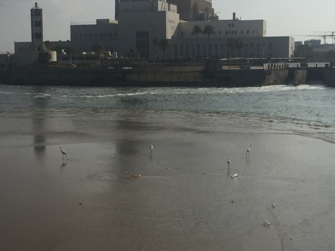 A group of little egrets in low tide with Reading power station in the background